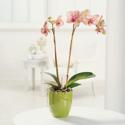 107-11 Phalaenopsis Orchid
